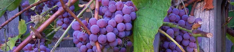 header_bright-purple-grapes