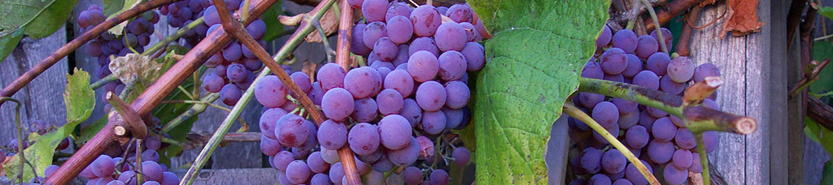 header_bright-purple-grapes